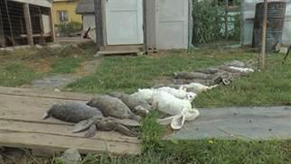 iepuri mancati